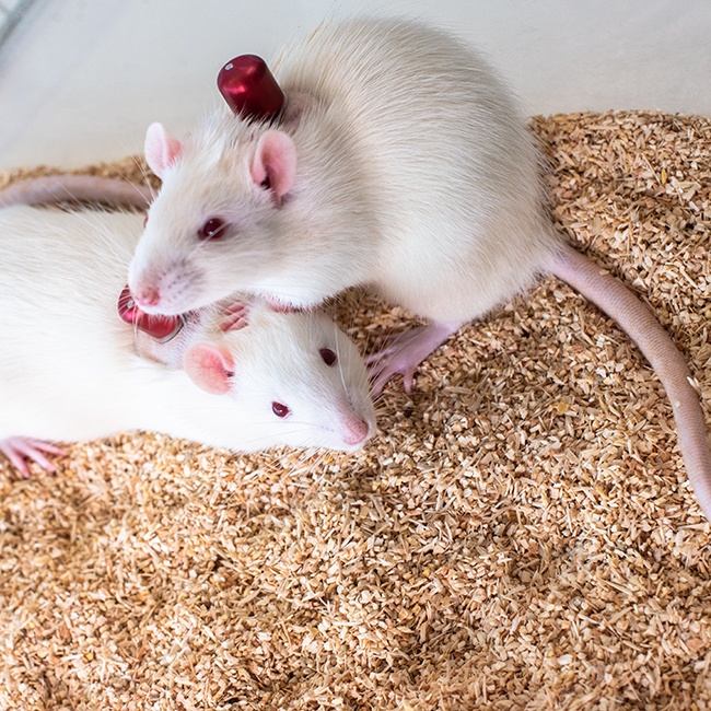 Paired housed catheterized rats with VAB