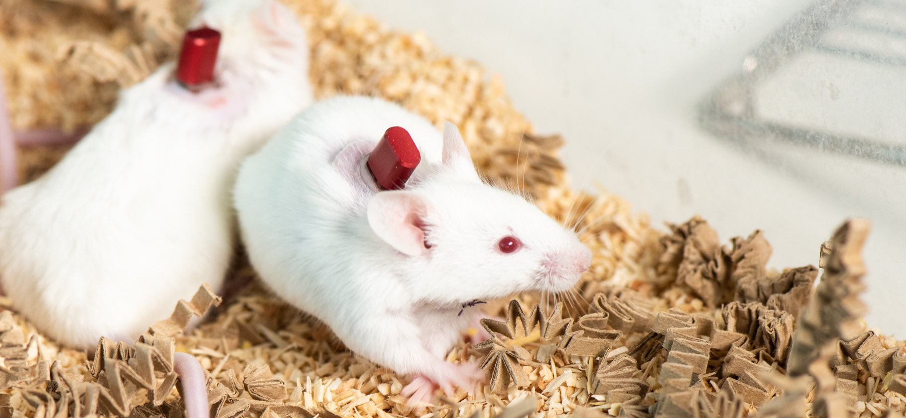 Group housed cannulated mice using the Vascular Access Button