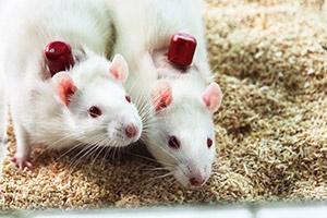 group-house-rat
