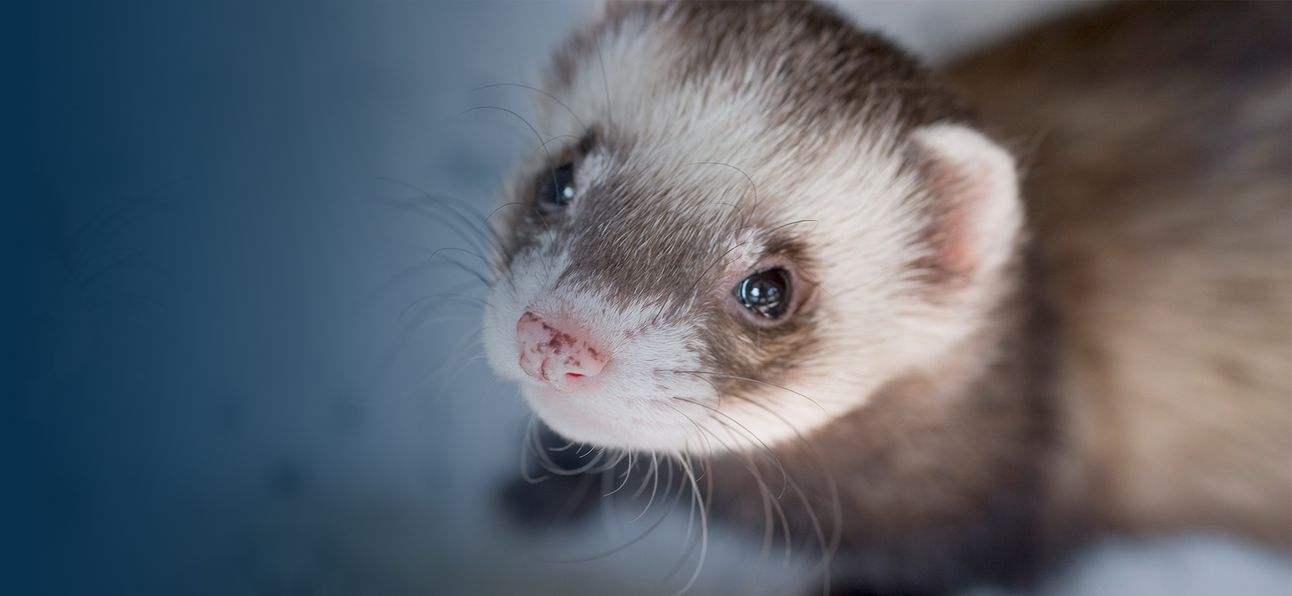 Ferrets and hamsters are receiving extra attention for their role in coronavirus research